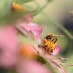 Sorta Shy (Mega.Shots) Tags: bee flower shallowdof warm vivid d610 nikon