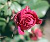Maig_1349 (Joanbrebo) Tags: 16èconcursinternacionalderosesnovesdebarcelona barcelona blumen blossom park parque parc parccervantes canoneos70d efs18135mmf3556is eosd autofocus garden jardí jardín flores flors flowers fiori fleur doublefantasy