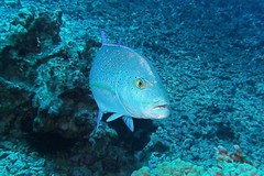 hunter blue (BarryFackler) Tags: fish sealife hawaii ocean diving sealifecamera marine reef animal sea 2016 ecology konadiving coralreef bay scuba water marinebiology westhawaii aquatic hawaiianislands life undersea omilu bluefintrevally caranxmelampygus blueulua ulua cmelampygus suckemupdivesite konadivingcompany halekai boatdive northkona kailuakona marinelife fauna ecosystem tropical underwater organism polynesia hawaiiisland seacreature island outdoor pacificocean biology sandwichislands zoology coral nature marineecosystem pacific konacoast hawaiicounty bigislanddiving dive saltwater creature barryfackler marineecology diver hawaiidiving kona