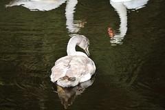 Swan (Hugo von Schreck) Tags: hugovonschreck swan schwan wasservogel outdoor lake see vogel bird yourbestoftoday canoneos5dsr tamronsp150600mmf563divcusda011
