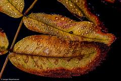 Herbst - Spielerei mit Wassertropfen (J.Weyerhuser) Tags: blatt wassertropfen makro herbst tropfen test