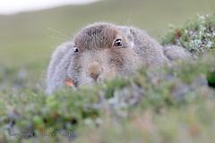 Mountain Hare Scottish Highlands (Ally.Kemp) Tags: mountain hares hare scottish scotland wild wildlife lepus timidus