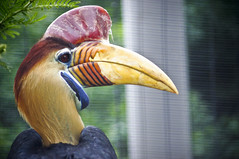 Hornbill B (larryn2009) Tags: california male bird fall animal zoo sandiego unitedstatesofamerica september 2012 sandiegocounty aceroscassidix knobbedhornbill redknobbedhornbill sulawesiwrinkledhornbill sandiegosafaripark