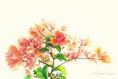 bougainvilleas ( Graa Vargas ) Tags: flower primavera bouganvillea graavargas 2012graavargasallrightsreserved 16206211213