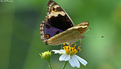 butterfly 1 (hidup_marley) Tags: highqualityanimals
