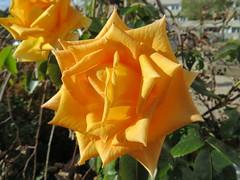 85040 Die letzten Rosen, die (golli43) Tags: autumn sunset sun streets rain sunrise mushrooms heaven herbst himmel wolken neighbours pilze sonne katzen nachbarn homesweethome regen spaziergnge perser nahverkehr streetlive