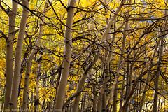Changing Aspens (Kurt Lawson) Tags: california autumn fall leaves sierra aspens sierras aspen sierranevada eastern quaking easternsierras northlake