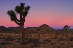 Tree (East Wind) Tags: tree sunrise canon nationalpark desert joshuatree joshuatreenationalpark yuccavalley dailynaturetnc12 photoofthedaynwf12