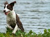"""Foster Dog """"Camilla"""" Enjoying Her Last Weekend On The Bayou - She'll Be Heading Up To Maryland This Week To Her New Home (Image Hunter 1) Tags: dog green nature water grass fur droplets drops louisiana teeth ears running run foster bayou swamp greenery spaniel marsh ripples splash elephantears canoneos7d bayoucourtableau"""