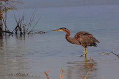 Purple Heron :   (Sakhr Abdullah |   ) Tags: red sea bird heron purple wildlife ardea saudi arabia  purpurea
