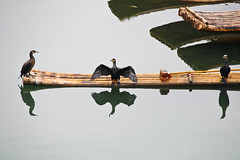Cormorants at work in the Yulong river, near Guilin, Guangxi, China (fabriziogiordano23) Tags: world china trip travel bridge holiday black birds animals reflections river cormorants yulong asia yangshuo fiume uccelli journey riflessi viaggi nero soe cina vacanze guangxi mondo autofocus cormorani thegalaxy flickraward mygearandme ringexcellence allnaturesparadise flickrstruereflection1 rememberthatmomentlevel1 flickrsfinestimages1 magicmomentsinyourlifelevel1 vigilantphotographersunite