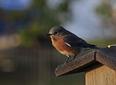 Morning Bluebird (Ruthie Kansas) Tags: blue friends bird backyard deck bluebird birdwatcher easternbluebird somethingblueinmylife