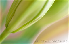 Pastel-beauty_DSC3020 (Mel Gray) Tags: flowers nature pastel asianlily flowerabstract flowermacro mfcc