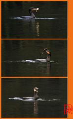 Bon appétit ! (mamnic47 - Over 7 millions views.Thks!) Tags: étang pêche cormoran meudon poissonchat 17112012 img5987troisphotos capturepoisson