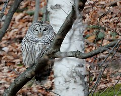 Barred Owl (mbmcclintock) Tags: owlandsnowgeese