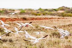 Galah #3 (akopictures) Tags: australia kakadu australianbirds pinkandgrey eolophus roseicapilla galahcockatoo rosebreastedcockatoo rosakakadu