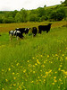 "Cows in a Meadow • <a style=""font-size:0.8em;"" href=""http://www.flickr.com/photos/90155795@N05/8201892748/"" target=""_blank"">View on Flickr</a>"
