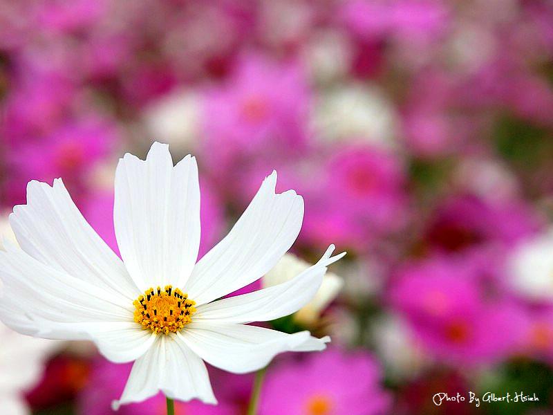 【花賞】桃園大溪.台七線美麗花海(美麗的田園花海)
