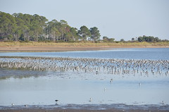 Lots of shorebirds (vacationer1901) Tags: florida alligator greatblueheron whiteibis greategret snowyegret tricoloredheron anhinga shorebirds stmarksnationalwildliferefuge commonmoorhen redheadduck queenbutterfly glossyibiswoodstork