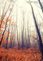 Foggy forest (Ciubotaru Catalin) Tags: morning autumn trees orange mist nature forest season leaf redleaves the4elements