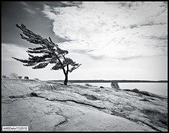 Pines at Killbear (DelioTO) Tags: wood toronto ontario canada landscape blackwhite trails september 4x5 crowngraphic withlenses killbear adox25 autaut ro9 nonthelake