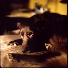Morris (pavlov's.daughter) Tags: light dog pet brown sun beautiful mediumformat polaroid back fuji silk couch instant morris 88 kiev arsat fp100c