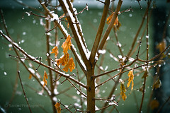 snow branches (Santos'Photography) Tags: autumn winter snow tree wet bokeh dry falling 7d 28 70200mm