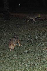 Jackals at the park 1   (  asaf pollak) Tags: night israel jackal  yarkonpark jackals    asafpollak