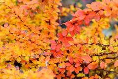 Berberitze (balu51) Tags: november orange leaves yellow laub gelb blätter 2012 berberitze wegrand 365d