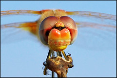 ...hello!... (zio.paperino) Tags: sky macro nature face insect eyes nikon dragonfly flight natura tamron 90mm calabria catanzaro d800 lamezia libellula thegalaxy ziopaperino mygearandme mygearandmepremium d800e