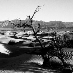 Life at Mesquite Flat Sand Duens (onefastbiker) Tags: tree deathvalley sandunes yellowfilter mesquiteflat olympusom4 blackwhitephotos ilfordpf4 thanksgiving2012 longwalktogettocleansand
