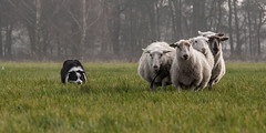 Which way to Mordor? (Bas Bloemsaat) Tags: dog collie sheep action border bordercollie