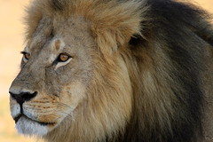 Cecil - The large black maned lion of Hwange (paulafrenchp) Tags: safari zimbabwe hwange littlemakalololodge