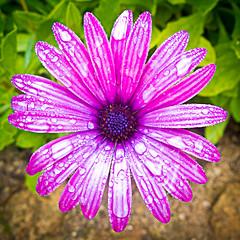 Flor y Rocio (Juan Antonio Cap) Tags: flower macro verde green fleur bokeh natur flor stamens blomma  blume fiore mallorca  maua bltenbltter bulaklak hoa majorca bloem lill x10 pavot  iek kwiat blodau  illesbalears  ptales pistils stamina   kukka    dimorphoteca pistilos blth estambres   pistilli  stami kvtina floare osteospermumfruticosum tamines         bltennarben   fujifilmx10 fujix10