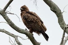 Aquila wahlbergi (Wahlberg's Eagle) (Nick Dean1) Tags: southafrica eagle raptor predator krugernationalpark birdofprey wahlbergseagle nickdean aquilawahlbergi africanraptors hieraaetuswahlbergi nickdean1