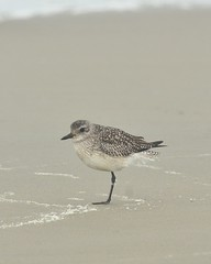American Golden Plover (williamson149) Tags: americangoldenplover