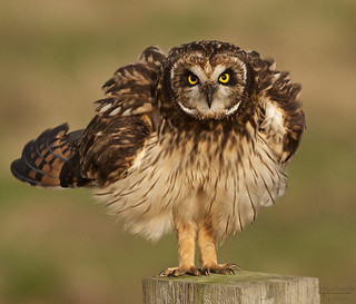 Short eared owl (3 of 3)