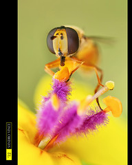 Syrphus ribesii (Sandro V-R ) Tags: life pink flower macro green nature colors yellow insect fly eyes nikon photographer natural emotion little rosa natura land sharpen terra 90mm f28 insetto mondo dcr250 raynox polline pistillo dittero d700 tmaron sandrovinci