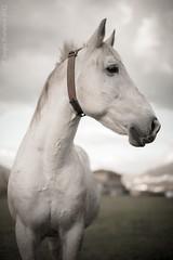 perfil (ser_grao) Tags: horse blanco digital caballo nikon sigma 5014 d700