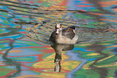 Egyptian Goose  |  Nilgans (abritinquint Natural Photography) Tags: bird vogel natural wildlife nature wild nikon d750 telephoto 300mm pf f4 300mmf4 300f4 nikkor teleconverter tc17eii pfedvr luxembourg nilgans egyptiangoose rainbow regenbogen