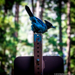 Steller's Jay (scarbo4) Tags: yosemitevalley california unitedstates us