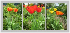 Un jardin de tulipes (busylvie) Tags: jardin tulipes jaunes rouges orange panach tulipres triptyque