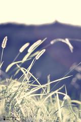 DSC_5132 (Nestor Polastri) Tags: grass green garden sun sunlight sunshine verde luz nikon nikkor d3100 nature bokeh park spring sunset sky flower flowers light old new