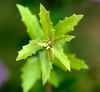_DSC0034e ~ Just Leaves (BDC Photography) Tags: pipecreek texas usa greenbeautyforlife nikon nikond200 nikonafmicronikkor60mmf28dlens bwfpro62mm010uvhaze1xfilter