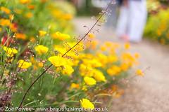 Californian Poppies - West Dean Gardens (Zo Power) Tags: californianpoppy chichester westdeangardens flowers kitchengarden summer westsussex yellow