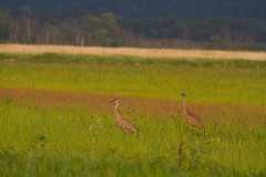 Sandhill Cranes (Arlen Breiholz) Tags: 100400mm animals birds cameras eos7d greenislandwma iowa jacksoncounty places sandhillcranes usa wildlife