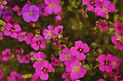 Multiplication (thibautcotelle) Tags: flowers fleur colors photo photographie macro photography