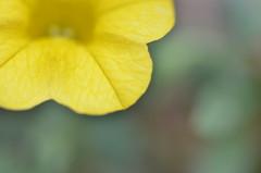 (diletta111) Tags: yellow flower fiore giallo macro