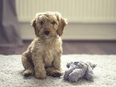 Bear (ben_wtrs79) Tags: bear cockapoo puppy 11 weeks old olympus omd em1 1240 28