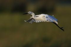 Little Egret (cooky1959) Tags: littleegret egrets middlebere dorset
